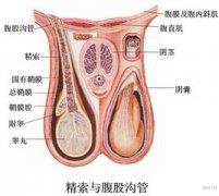 男性睾丸乃是较聪明的器官